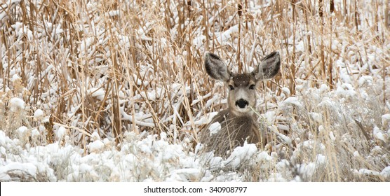 A mule dear doe laying in snow covered grass; landscape