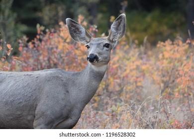 Mule Deer Autumn
