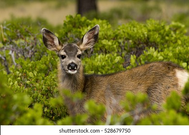 Mule Deer at Bryce Canyon National Park, Utah