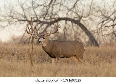 Mule deer Buck in Autumn in Colorado