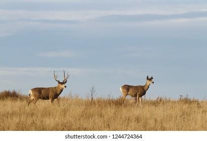 Mule Deer buck and doe during the rut / mating season