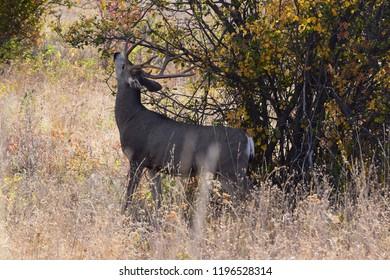 Mule deer buck eating