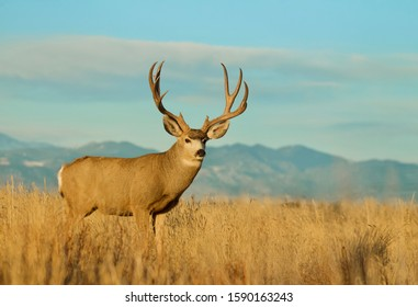 Mule Deer buck environmental portrait with the Rocky Mountain foothills in the background