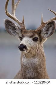 Mule Deer Buck in Gardiner, Montana, near Yellowstone National Park.  suburban wildlife hunting town urban portrait closeup