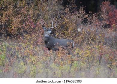Mule deer buck in Montana