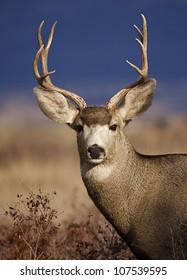 Mule Deer Buck portrait, in warm evening light with striking blue background