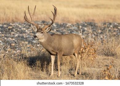 Mule Deer Buck in the Rut in Colorado in Autumn