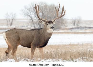 Mule Deer Buck in Snow Covered Landscape