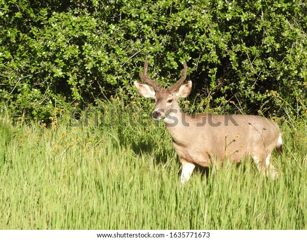 A mule deer buck standing in the woodland foliage near Potwisha campground in the Sequoia National Forest.