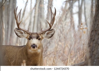 Mule Deer buck taken during the rut and deer hunting season