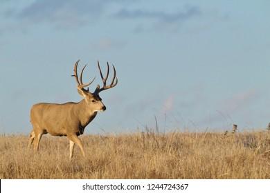 Mule Deer buck walking on the prairie with blue sky taken during the autumn rut