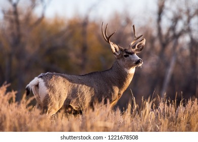 Mule Deer Buck Watching the Sunrise - Wild Deer In the Colorado Great Outdoors
