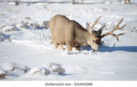 Mule Deer bucks and does feeding in the winter on sage brush