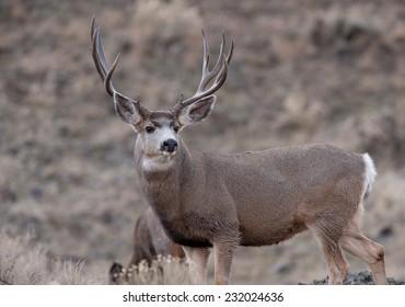 Mule deer bucks during rut
