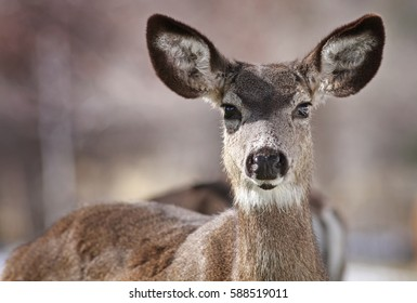 Mule Deer Close up taken in Genoa, Nevada