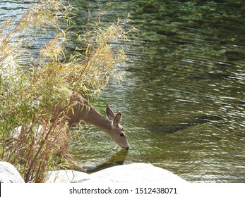 Mule deer doe, drinking from the Kaweah River, Sequoia National Park, California.