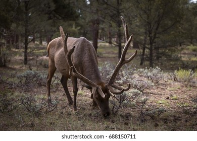 Mule Deer eating grass in the Grand Canyon National Park, Arizona, USA