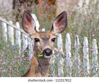 Mule deer eating weeds in a flowery summer garden.