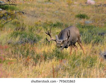 Mule Deer in the fall in the mountains eating in the tall grass
