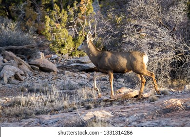 Mule deer family in direct afternoon  sunlight in red sandstone characteristic of the American Southwest near Blanding Utah