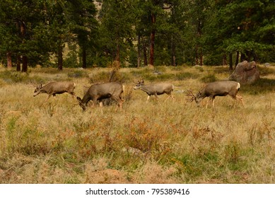 Mule deer in the forest eating grass in the fall at Rocky Mountain National Park in Colorado