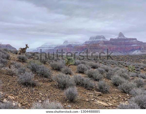 Mule deer in Grand Canyon National Park, Arizona, USA
