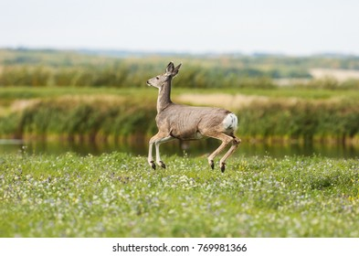 Mule Deer jumping on a field in Fort St John, British Columbia, Canada