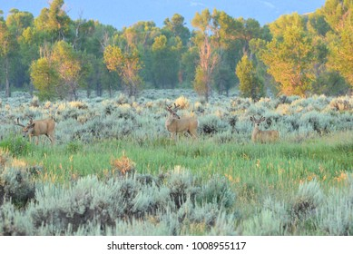 Mule Deer in a mountain forest during the fall season. Grazing on branches .