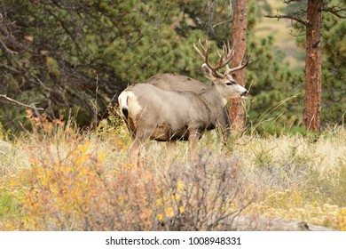 Mule Deer in the mountains feeding