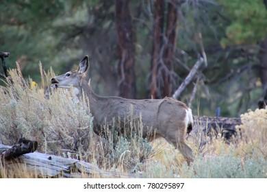 Mule Deer snacking