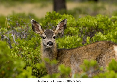 Mule Deer Surprise at Bryce Canyon National Park, Utah