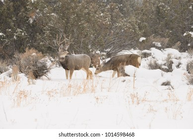 Mule Deer in a winter storm trying to feed on sage brush