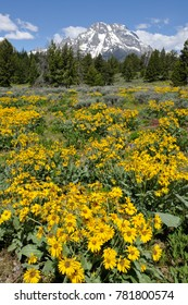 Mule Ears blooming, Grand Tetons NP, WY