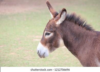 Mule in farm ,Portrait of a cute mule.