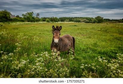 Mule in a field in Thy, Denmark