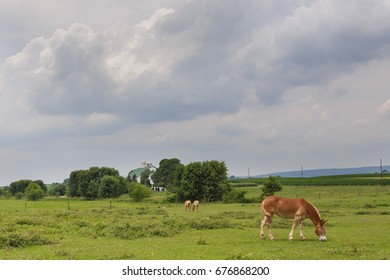 Mule Grazing in Amish Pasture with storm clouds approaching