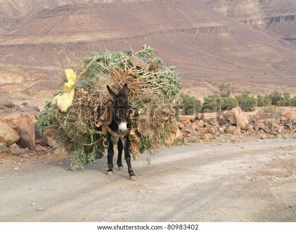 Mule in high Atlas mountain