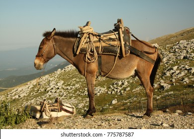 A mule, the offspring of a male donkey (jack) and a female horse (mare). Mules are reputed to be more patient, hardy and long-lived than horses, and are less obstinate and more intelligent than donkey