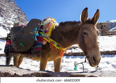 A Mule  in the Refuge  of  Toubkal National Park.