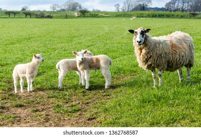 Mule sheep,  Ewe, female sheep with triplet lambs.  Ewe and three lambs stood in lush green meadow. Yorkshire Dales, England. Concept: Mother and babies.  Landscape, Horizontal. Space for copy