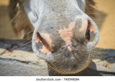 A mule in the stable. Mule is the offspring of a male donkey (jack) and a female horse (mare). Horses and donkeys are different species, with different numbers of chromosomes.