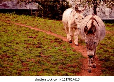 Mules, donkeys in Clovelly Village