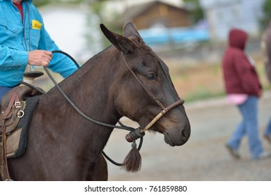 Mules at a draft horse show