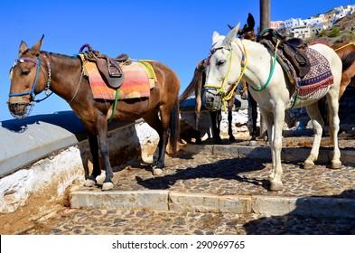 Mules in Santorini, Greece