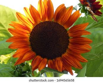 Mulitcolored very big sun flowers