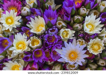 Multi Color Lotus Flowers Stock Photo Edit Now 239812009