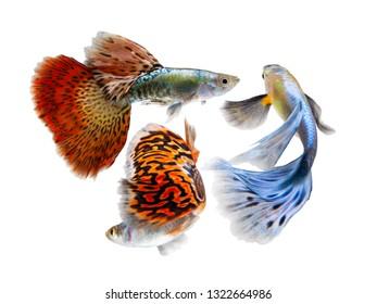 10 Best Fish for a 20-Gallon Tank | Swordtail fish, Fish, Aquarium ... | 280x347