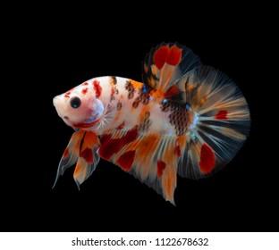 Multi color Siamese fighting fish(candy nemo ),Betta splendens,on black background with clipping path,Betta Fancy Koi Half Moon Plakat
