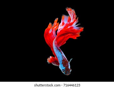 Multi color Siamese fighting fish(halfmoon),fighting fish,Betta splendens,on black background