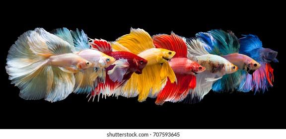 Siamais multicolore combattant le poisson(Rosetail), poisson combattant, Bêta splendens, sur fond noir